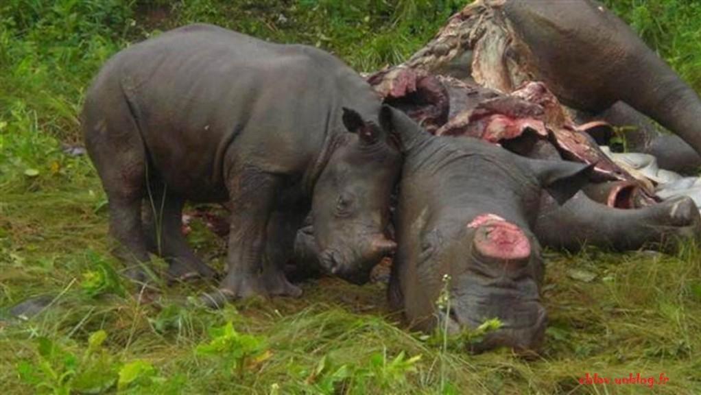 Rhino braconnage