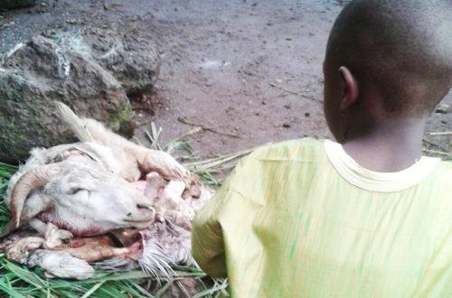 Article : Tabaski : L'enfant et le mouton, cruel festin