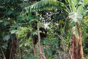 chimpanzé de Bossou, rencontré dans une friche agricole à proximité du village - Vincent Verroust